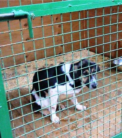 измученная собака в московском приюте