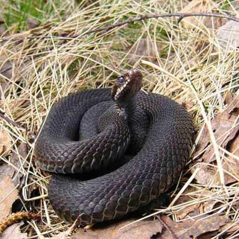 В разгар дачного сезона появляется много слухов об опасности укуса ядовитой змеей.  Насколько они обоснованы.